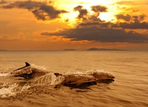 Three dolphins playing in the sunset sea